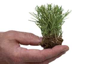 a hand holding a single zoysia grass plug